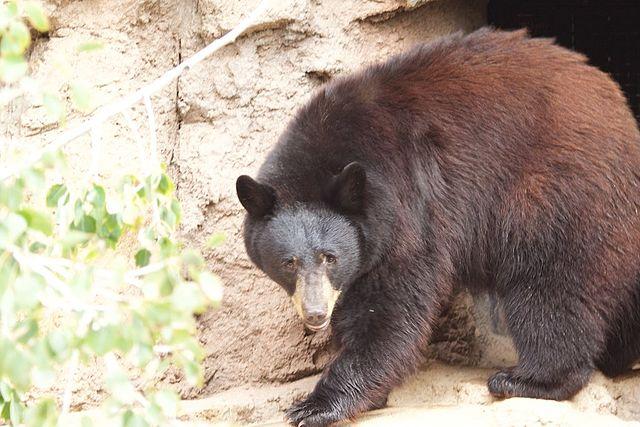 Oman Desert Bears