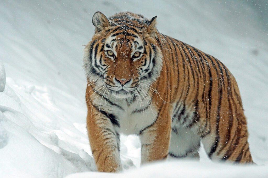 Tiger 21